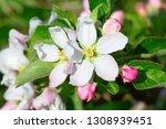 blossoming apple garden in... | Shutterstock . vector #1308939451