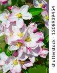 blossoming apple garden in... | Shutterstock . vector #1308939454