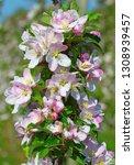 blossoming apple garden in... | Shutterstock . vector #1308939457