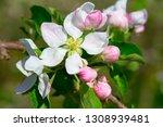 blossoming apple garden in... | Shutterstock . vector #1308939481