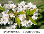 blossoming apple garden in... | Shutterstock . vector #1308939487