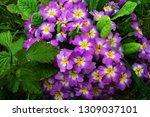 Bunch Evening Primrose Plant...