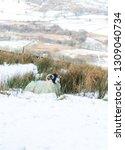 Swaledale Sheep  Female Ewes On ...