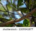 the birds  collared kingfisher  ... | Shutterstock . vector #1309041877
