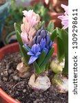 hyacinth  hyacinthus orientalis ...   Shutterstock . vector #1309298611