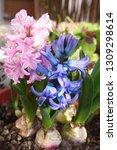 hyacinth  hyacinthus orientalis ...   Shutterstock . vector #1309298614
