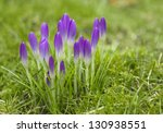 Purple Crocus Vernus Flowers