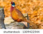 Pheasant   Male  Common Ring...