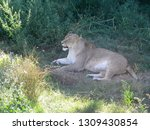 Lioness In The Shade