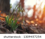 snowdrop or common snowdrop ... | Shutterstock . vector #1309457254