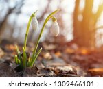 snowdrop or common snowdrop ... | Shutterstock . vector #1309466101