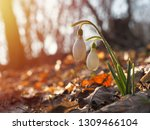snowdrop or common snowdrop ... | Shutterstock . vector #1309466104
