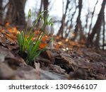 snowdrop or common snowdrop ... | Shutterstock . vector #1309466107