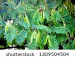 Acacia Tree With Seeds And...