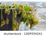 parsley biannual herb drying... | Shutterstock . vector #1309554241