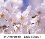 pink japanese cherry blossoms | Shutterstock . vector #1309625014