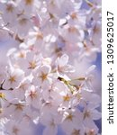 pink japanese cherry blossoms | Shutterstock . vector #1309625017