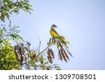 a yellow bird perched on a tree ... | Shutterstock . vector #1309708501
