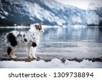 Stock photo australian shepherd puppy in winter puppy in the snow in beautiful landscape puppy at the lake 1309738894