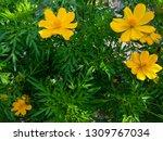 yellow cosmos flower or cosmos... | Shutterstock . vector #1309767034