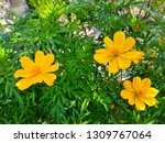 yellow cosmos flower or cosmos... | Shutterstock . vector #1309767064