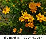 yellow cosmos flower or cosmos... | Shutterstock . vector #1309767067