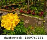 yellow cosmos flower or cosmos... | Shutterstock . vector #1309767181