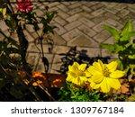 yellow cosmos flower or cosmos... | Shutterstock . vector #1309767184