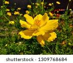 yellow cosmos flower or cosmos... | Shutterstock . vector #1309768684