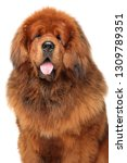portrait of huge red tibetan... | Shutterstock . vector #1309789351