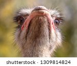 portrait of an ostrich in the... | Shutterstock . vector #1309814824