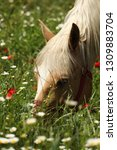 beautiful young bay stallion... | Shutterstock . vector #1309883704