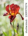 Iris Germanica  Bearded Iris....