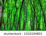 deciduous forest in spring.... | Shutterstock . vector #1310104801