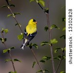 American Goldfinch Perched In ...