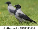 A Hooded Crow  Corvus Corax ...