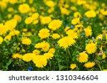 flowers dandelions in the field ... | Shutterstock . vector #1310346604