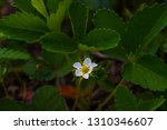 flowers of strawberries on a... | Shutterstock . vector #1310346607