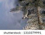 detail of winter frozen pine... | Shutterstock . vector #1310379991