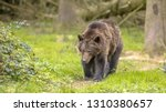 european brown bear   ursus... | Shutterstock . vector #1310380657