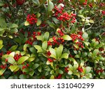 Holly Bush With Red Berries