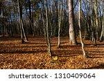 bare trees growing in autumn... | Shutterstock . vector #1310409064