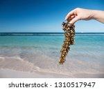 Woman Holding Sargassum Seawee...