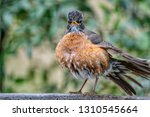 American Robin With Tail And...