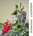 female purple finch perched in... | Shutterstock . vector #1310545694