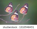 Butterfly   Leopard Lacewing...