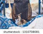 thin shaggy street cat relaxing ... | Shutterstock . vector #1310708081