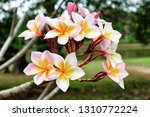 frangipani flowers on a... | Shutterstock . vector #1310772224