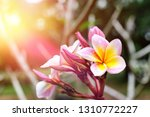 frangipani flowers on a... | Shutterstock . vector #1310772227