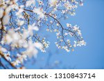 gorgeous lush magnolia flowers... | Shutterstock . vector #1310843714